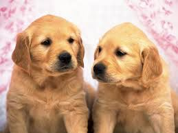 Because you can never have too many golden retriever puppies now, can you? No, you can not.