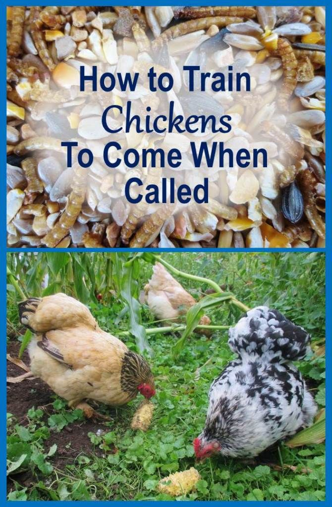 Learn how to train chickens to come when called, so you can get them to safety whenever you want. Train multiple flocks, each to a different call.