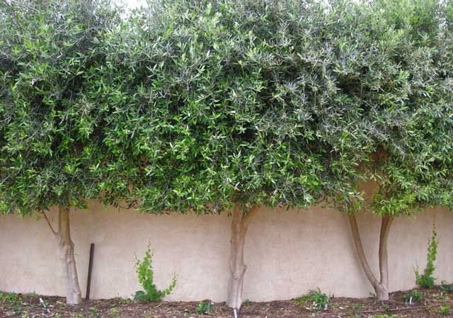similar idea as I had except I wont use Olive trees as they take to long to grow. will also use a vertcal green wall to the underside of hedge along the hedge face.