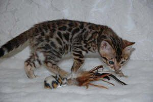 112 Best Cats Bengal Images On Pinterest Bengal