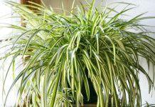 Zelenec – rostlina kterou se vyplatí mít doma! Dokáže doslova divy!