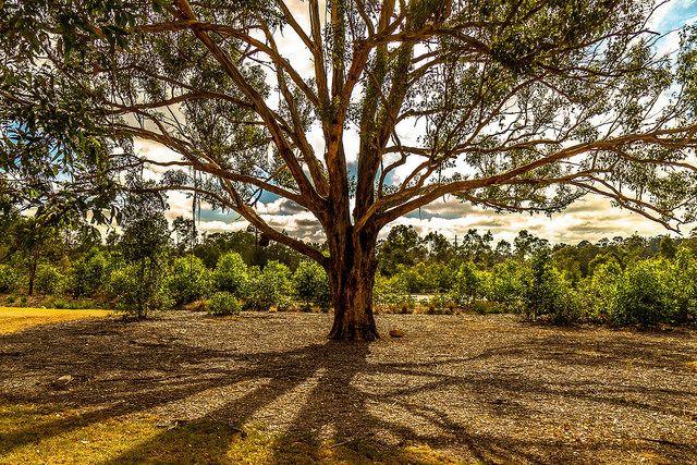 Tree @ Western Sydney Regional Park