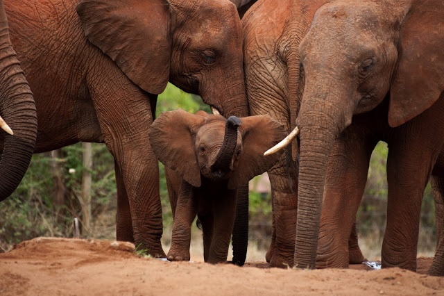 Borneo Elephant   The Biggest Animals Kingdom
