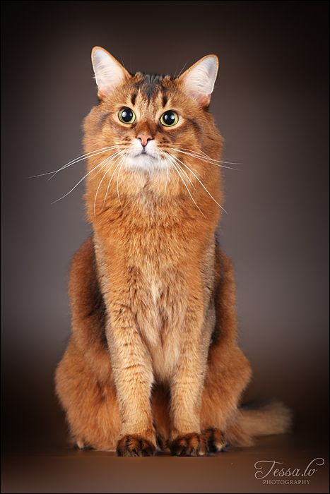 Somali. Basically a longer haired Abyssinian. Beautiful breed with fantastic personalities.