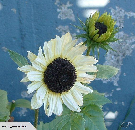 Sunflower Vanilla Ice has soft lemon vanilla flowers with dark black eye - wonderful contrast colour.