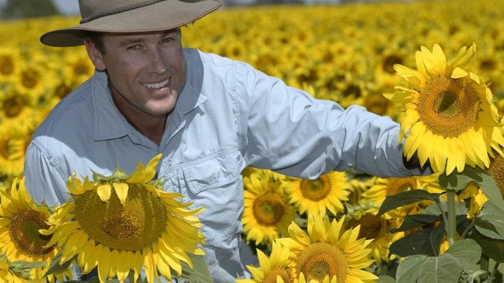 Bright spot: Sam Thompson checks his family's sunflower crop at Kyabram. Picture: Greg Scullin