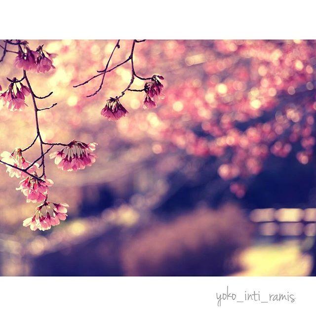 【yoko_inti_ramis】さんのInstagramをピンしています。 《♪さくら舞い散る中に忘れた記憶と 君の声が戻ってくる 吹き止まない春の風 あの頃のままで♪ 春はわたしにとって、いろんな意味を運んで来てくれます。 #ポエム部(ケツメイシ課) #さくら#サクラ#桜 #さくらと付く歌はみんな好き #ファインダー越しの私の世界 #フィルム写真 #film #ポートレート#portrait そういえば、ケツメイシのライブ1人で行った時、マストアイテムのタオルを買いそびれたのに、オールスタンディングの最前列でさ。 ライブの間ずっとケツメイシが「タオルを振れ〜!」と言いまくってて、その度に気まずくマイハンケチを振ってたのを思い出した(笑)》