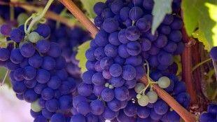 Smoothie z červeného hroznového vína. 2/5 šálek červené hroznové víno,1/3 šálek borůvky,1/3 šálek ostružiny,1/2 šálek maliny,1/2 šálek hroznová šťáva,2 šálky led,Výborné hroznové smoothie. Hroznové víno podporuje zdravé srdce tím, že brání shlukování krevních destiček a také snižuje krevní tlak.