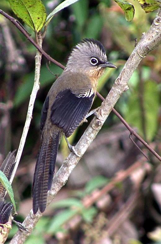 Black-crowned Barwing (Actinodura sodangorum) A bird perched. | the Internet…