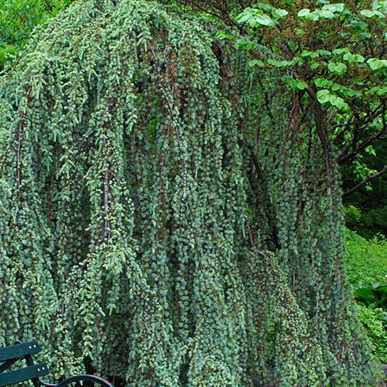70 best images about weeping evergreen trees on pinterest for Specimen evergreen trees small