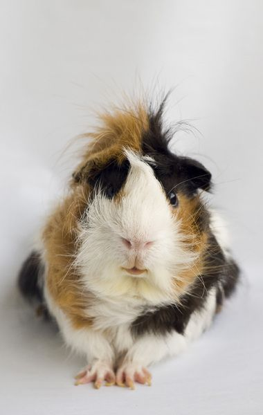 long hair guinea pig  looks like Colors