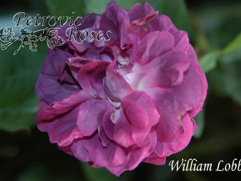 William Lobb | Petrovic Roses