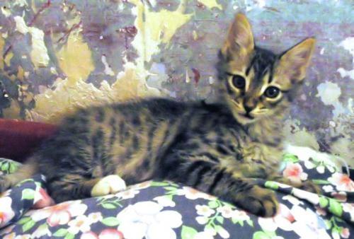 Mascota en adopción en Adoptaloo.com - MOISÉS 2 meses pelo semi-largo
