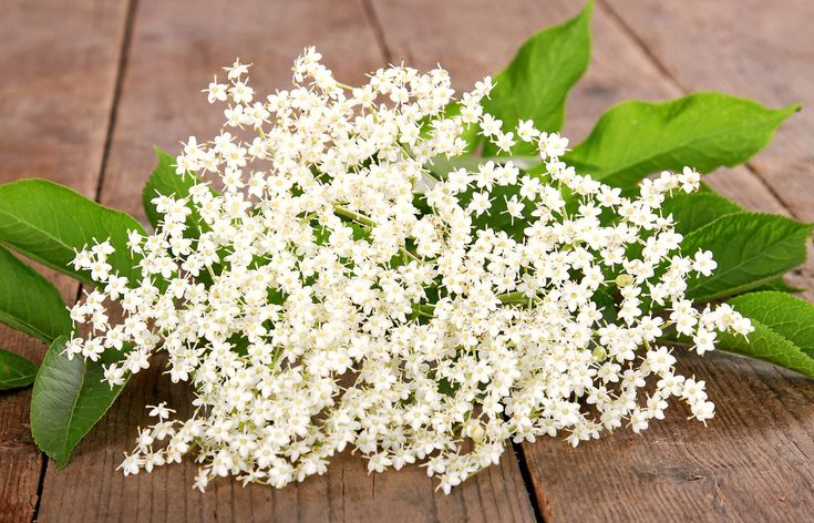 Tento všadeprítomný a všeobecne známy ker, niekedy až strom, skrášľuje svoje okolie až dvakrát do roka. Najprv na jar, keď v máji zakvitne silne voňajúcimi exotickými taniermi žltobielych kvetov. Potom zas na jeseň, keď jej lístky začnú žltnúť, opadávať a odhaľovať bohaté strapce sýtočiernych plodov.