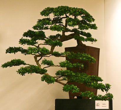 Bonsai: Bucida spinosa - Zwarte olijf. De boom groeit op de Bahama's en wordt 25 tot 30 meter hoog. Zijn bladeren staan in kleine groepjes bij mekaar, terwijl de takken bezet zijn met kleine stekels in zig-zagpatroon. Hij leent zich goed voor neerwaartse, luchtige vormen.