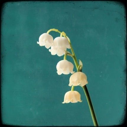 Lily of the Valley are up in my garden right now. Sweetest flower ever.