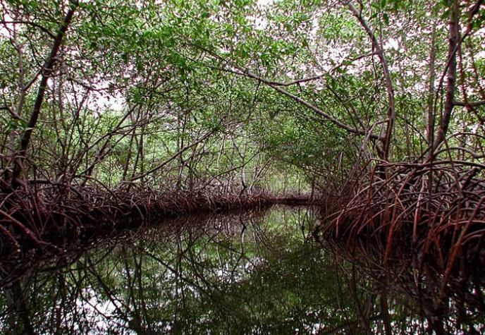 Met hun wortels in water ondergedompeld, mangrove bomen gedijen in warme, modderige, zoute omstandigheden die  doden de meeste planten. Door een reeks van indrukwekkende aanpassingen, waaronder een filtersysteem dat een groot deel van het zout en een complex wortelstelsel dat de mangrove houdt rechtop en  overleven in moeilijke omstandigheden, de mangrove ecosysteem ondersteunt ook een ongelooflijke diversiteit aan dieren, waaronder een aantal soorten die uniek zijn voor bossen mangrove.