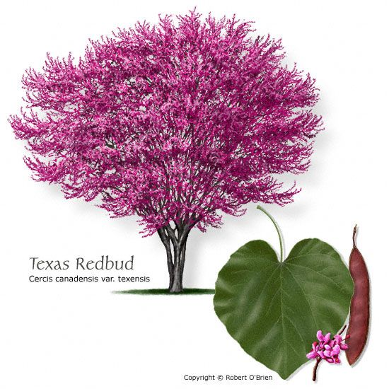 Texas Redbud  10-20' tall  more drought-tolerant than Eastern redbud, though less so than the smaller, more western Mexican Redbud.
