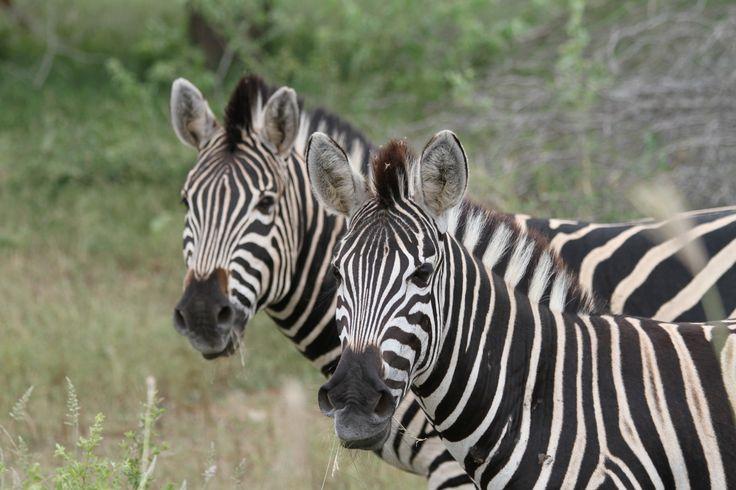 Zebraer på Mpala