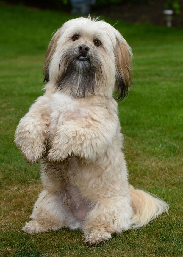 Which on should I get? A pure breed, 'Lhasa Apso' …
