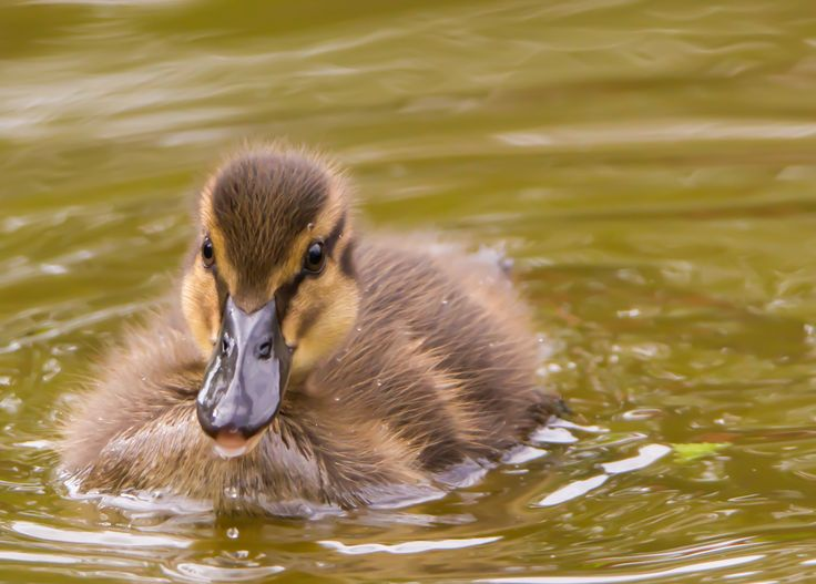 Soft duckling by Laila Krakeli on 500px