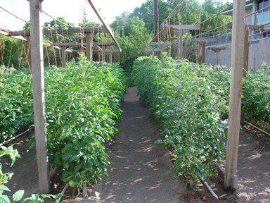 Подвязка высокорослых сортов Выращивание помидор в открытом грунте, с фото, посадка размножение уход