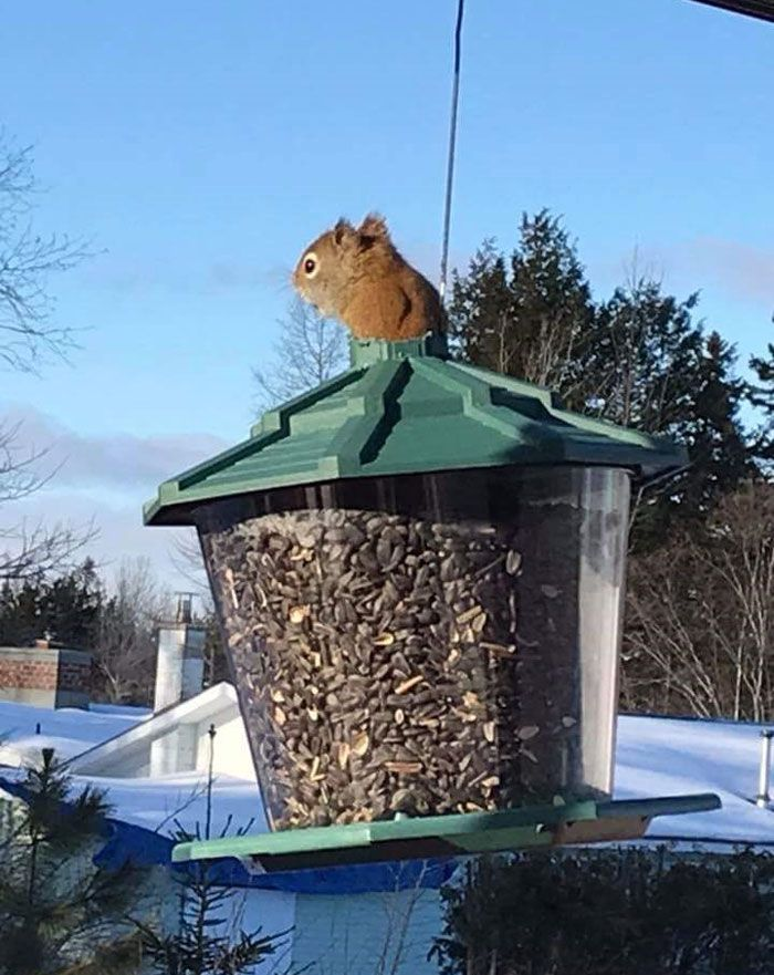 This red squirrel chewed through the top of an anti-squirrel bird feeder