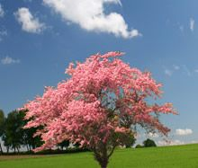 Pink dogwood tree - we had one of these in Virginia that was huge, and one of the first to bloom in Spring.