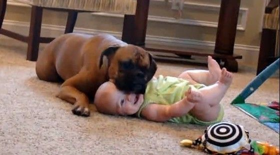 Baby laughing from loving Boxer's cuddles is the sweetest thing you'll see today (VIDEO)