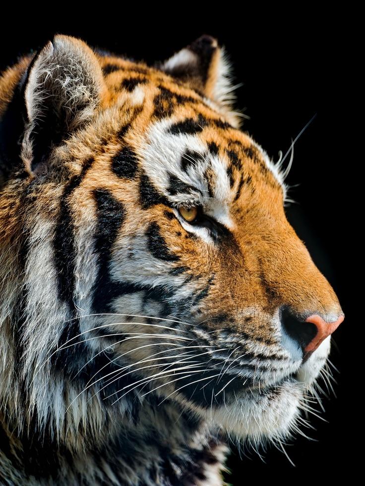 Beautiful Tiger - OGQ Backgrounds HD