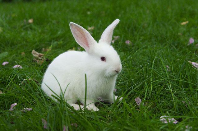 Florida White Rabbit Florida white rabbit, Rabbit breeds