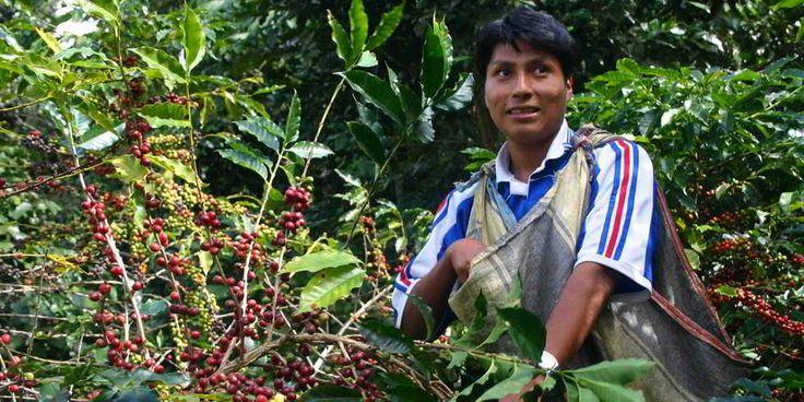 Die besten Kaffees werden per Hand geerntet - so kann sichergestellt werden, dass nur die reifen Kaffeekirschen gepflückt - für aromatischen Kaffeegenuss.   #kaffeestrauch #kaffeeernte #bohnendesglücks #Kaffee #carabica
