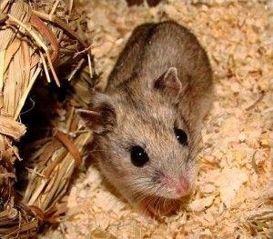 Chinese Dwarf Hamster 101 - Dwarf Hamster Blog