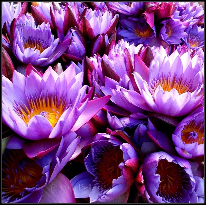 Lotus flowers from the markets in Port Vila, Vanuatu.