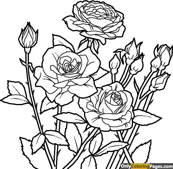 Realistic Rose Coloring Pages For Adults Rose Coloring Pages Flower Coloring Pages Garden Coloring Pages