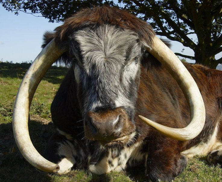 An English Longhorn cow.These animals are noted for being quite docile,which is as well given their rather impressive horns.