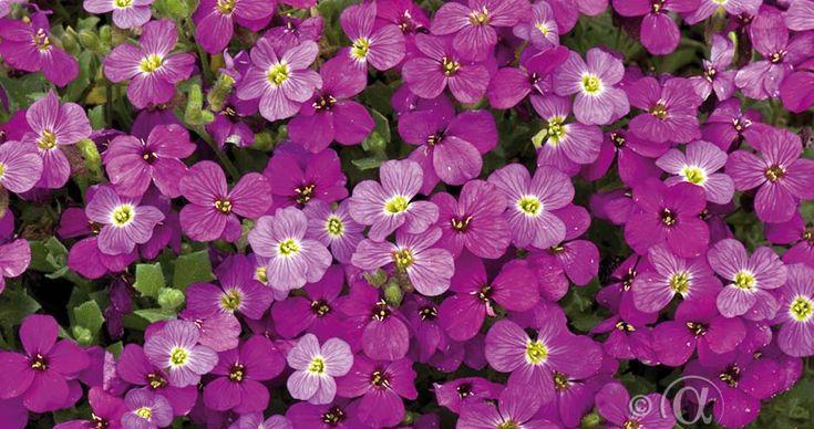 Aubretia 'Red Cascade' Fjärilsväxter, fjärilsträdgård, butterfly garden plant  Rikblommande och vintergrön marktäckare, som ger trädgården lysande färgklickar under vår och försommar. Dess doft drar till sig bin, humlor och fjärilar. Passar fint i stenpartiet och slänten. Trivs bäst i näringsrik, sandblandad och väldränerad jord. Blommar året efter sådd. Kan odlas i hela landet.