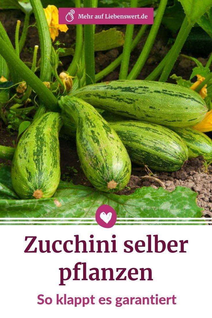 Zucchini Selbst Im Eigenen Garten Anzupflanzen Ist Unkompliziert Mit Ein Paar Tricks Kannst Du Dich Auf Eine Reichh Garten Pflanzen Zucchini Pflanzen Pflanzen