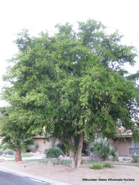39 Best Images About Arizona Trees On Pinterest Trees