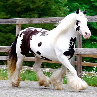 Gypsy Vanner Curly Horse Freizeitpferde Wallach in Rostock kaufen - pferde.de DEAR LORD I THINK IM IN LOVE! Agh!!!!