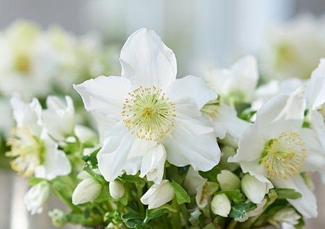 Velikonoční dárek  Čemeřice 'Snow Crystal'   ZDARMA (1ks) ke každé nové objednávce v e-shopu. Platí pouze od 24.3. do 29.3.2016 do 10:00 hodin dopoledne. Čemeřice se pěstují zejména pro velmi zajímavé a atraktivní květy, které se mohou otevírat už od poloviny zimy. Stačí, aby se v zimě na pár dnů trochu oteplilo, a květy čemeřic neváhají ani chvíli a rychle rozkvétají.