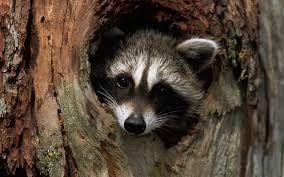 Imagehub: Raccoon HD images free download
