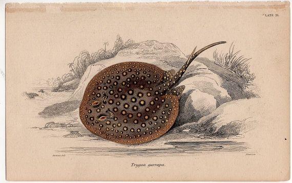imprimir 1836 stingray skate original antiguo marino océano mar de vida - ray de garrapa trygon