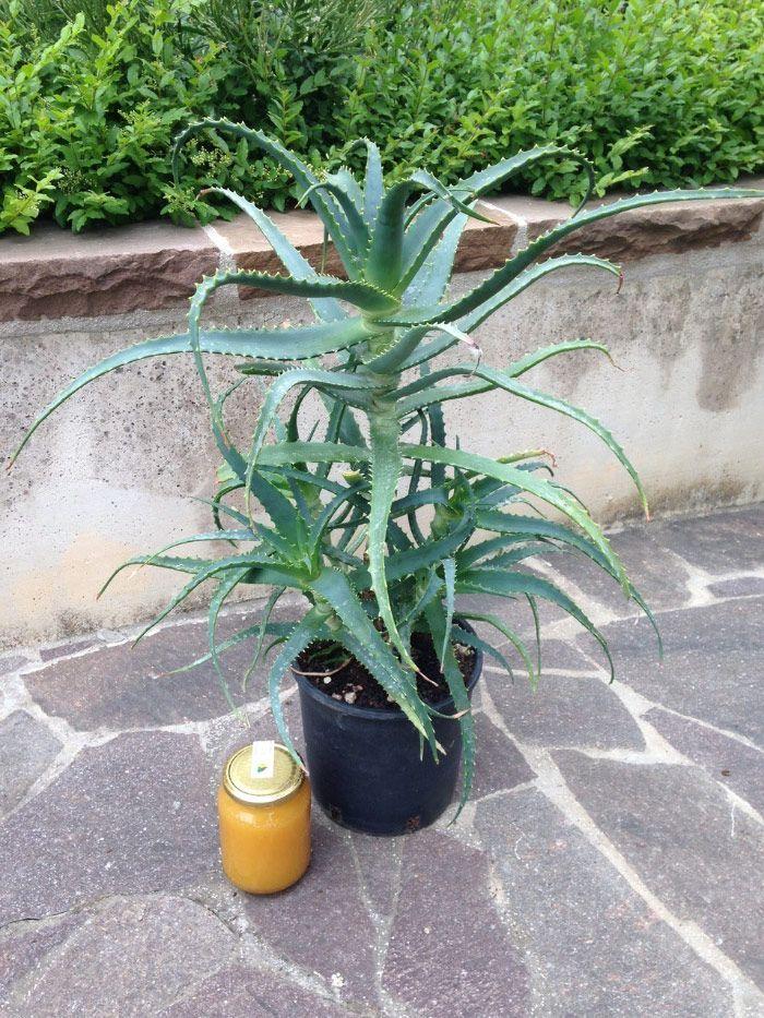 Aloe Arborescens: pianta con 5 anni di età. Per saperne di più: erbedimauro.it/prodotto/piante-di-aloe-arborescens-5-anni/