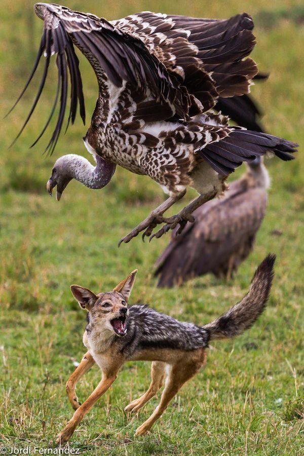 Jackal Vs Vultures Carcass Fight Animals Wildlife