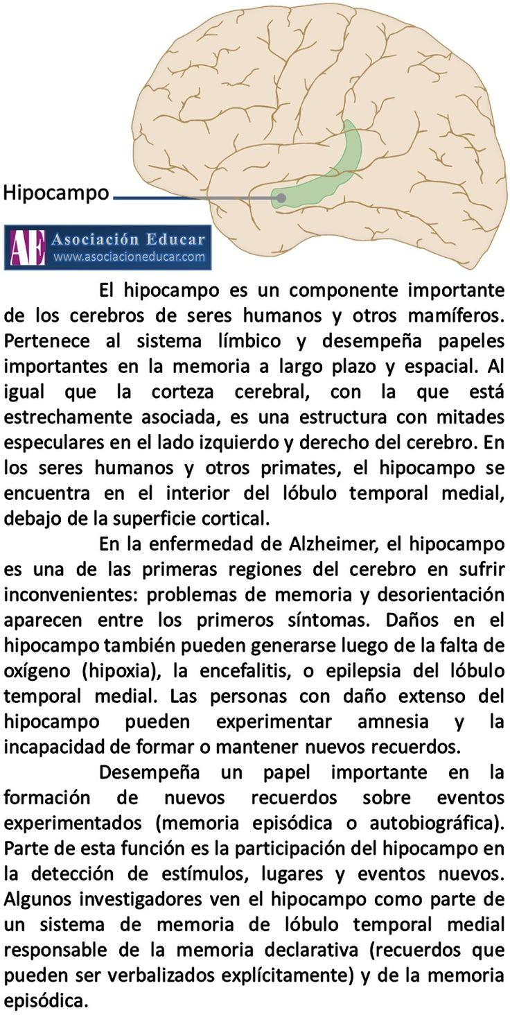 Infografía Neurociencias: Hipocampo. | Asociación Educar