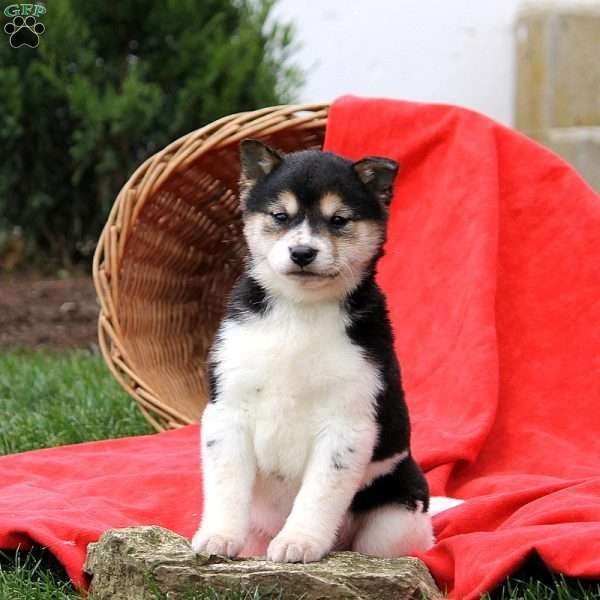 Twinkles Shiba Inu Puppy For Sale In Pennsylvania Shiba Inu Puppy Shiba Inu Puppies