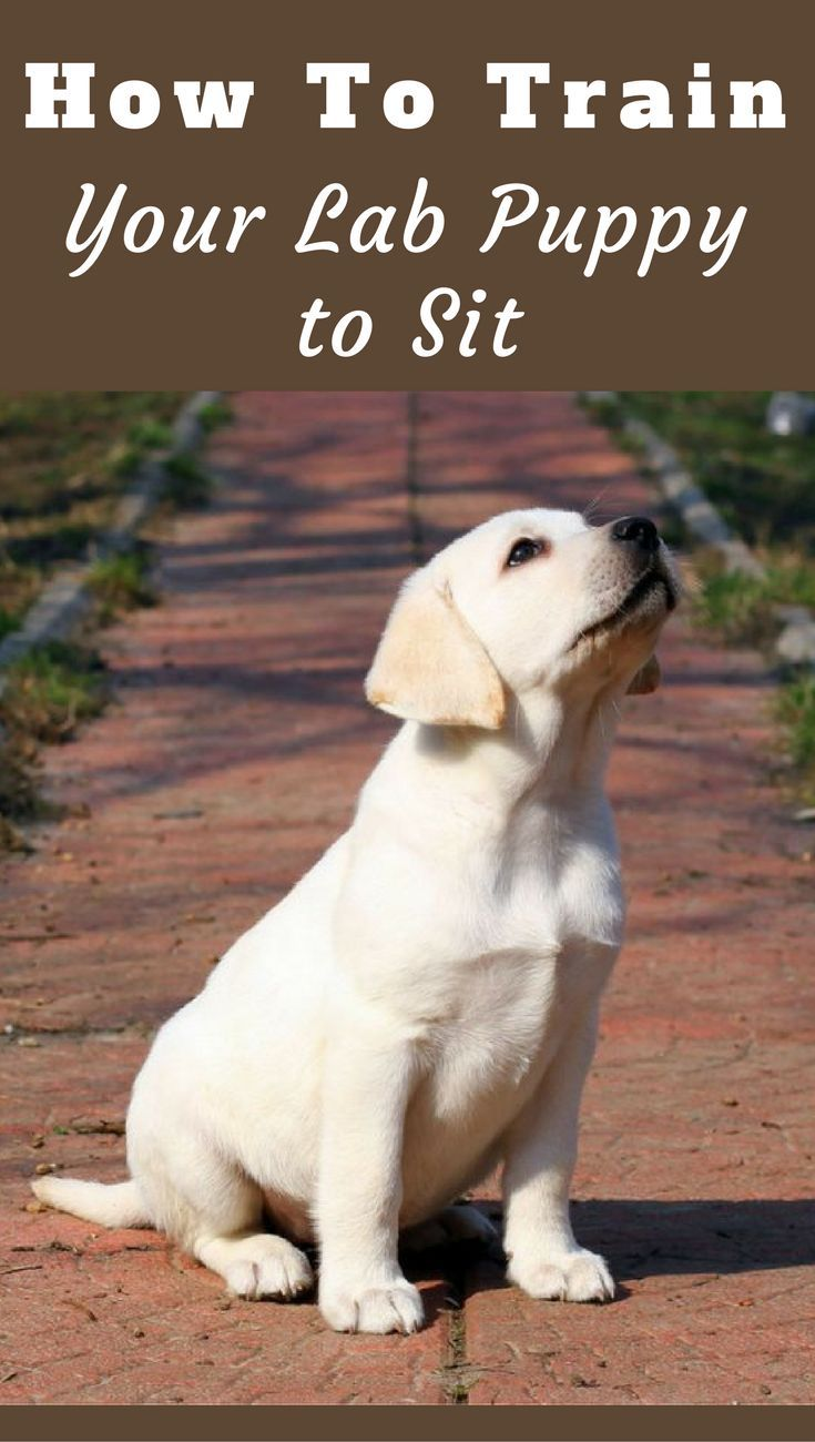 How To Train Your Lab Puppy To Sit Puppies Labrador Puppy