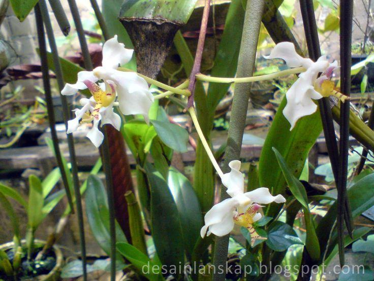 Paraphalaenopsis serpentilingua Anggrek Ekor Tikus - Desain Lanskap