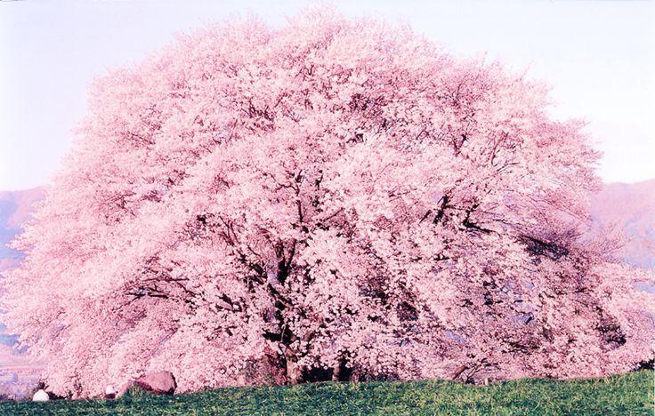 一心行の大桜(熊本県阿蘇郡南阿蘇村中松) ※開花時期は毎年4月上旬ごろ。